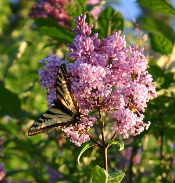 Villosa lilac and yellow swallowtail butterfly