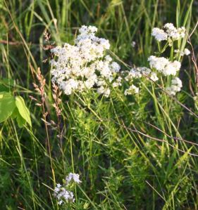 Galium boreale -- northern bedstraw